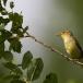 orpheus-spotvogel-melodious-warbler-02