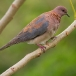 palmtortel-laughing-dove-01