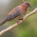 palmtortel-laughing-dove-02