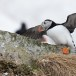 Papegaaiduiker-Atlantic-puffin-07