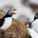 Papegaaiduiker-Atlantic-puffin-08