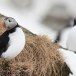 Papegaaiduiker-Atlantic-puffin-09