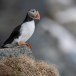Papegaaiduiker-Atlantic-puffin-10