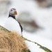 Papegaaiduiker-Atlantic-puffin-11