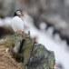 Papegaaiduiker-Atlantic-puffin-12
