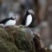 Papegaaiduiker-Atlantic-puffin-13