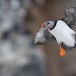 Papegaaiduiker-Atlantic-puffin-14
