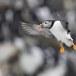 Papegaaiduiker-Atlantic-puffin-15