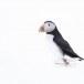 Papegaaiduiker-Atlantic-puffin-16