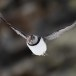 Papegaaiduiker-Atlantic-puffin-17
