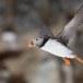 Papegaaiduiker-Atlantic-puffin-18