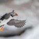 Papegaaiduiker-Atlantic-puffin-19