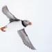 Papegaaiduiker-Atlantic-puffin-20