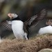 Papegaaiduiker-Atlantic-puffin-21