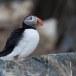 Papegaaiduiker-Atlantic-puffin-22