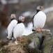 Papegaaiduiker-Atlantic-puffin-23