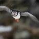 Papegaaiduiker-Atlantic-puffin-24