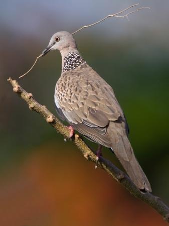 parelhalsbandtortel-spotted-dove-04
