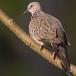 parelhalsbandtortel-spotted-dove-03