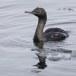 Pelagische aalscholver -  Pelagic cormorant 03