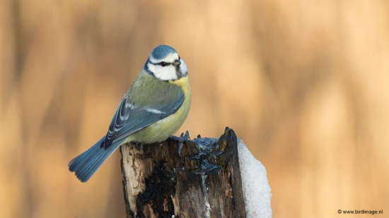 Pimpelmees - Blue Tit 02