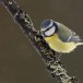 Pimpelmees-Blue-Tit-06