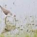 Poelruiter-Marsh-sandpiper-04
