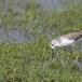 Poelruiter-Marsh-sandpiper-05