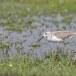 Poelruiter-Marsh-sandpiper-07