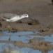 Poelruiter-Marsh-sandpiper-09