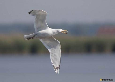 Pontische meeuw - Caspian Gull 01