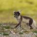 poolvos-artic-fox-03