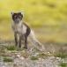 poolvos-artic-fox-04