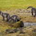 poolvos-artic-fox-07