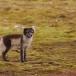 poolvos-artic-fox-08