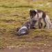poolvos-artic-fox-11