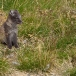 poolvos-artic-fox-12