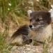poolvos-artic-fox-16