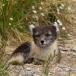 poolvos-artic-fox-17