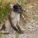 poolvos-artic-fox-18