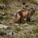 poolvos-artic-fox-20