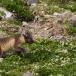 poolvos-artic-fox-21