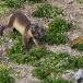 poolvos-artic-fox-24