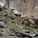 poolvos-artic-fox-28