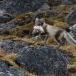 poolvos-artic-fox-30