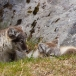 poolvos-artic-fox-38