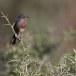 Provencaalse-grasmus-Dartford-Warbler-05