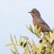 Provencaalse-grasmus-Dartford-Warbler-07
