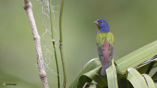 purpergors - Painted Bunting 005