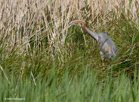 purperreiger-purple-heron-20_0